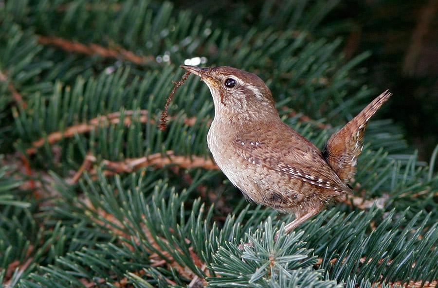 Robins Seite Bilder Natur Tiere Zaunkonig Nestvoe40
