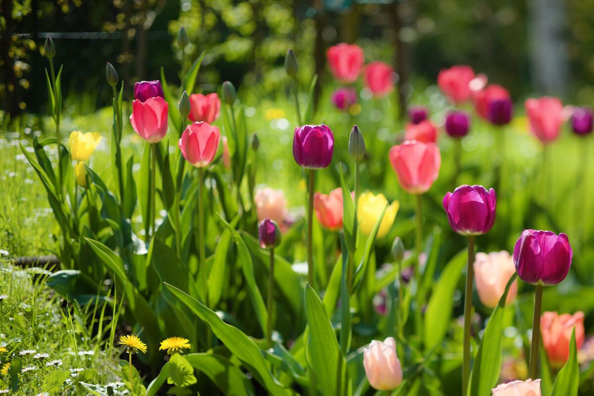 Tulpen Im Garten : robins seite bilder themen garten tulpen2garten ~ A.2002-acura-tl-radio.info Haus und Dekorationen
